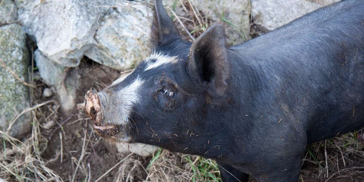 Getting teacup pigs for another state